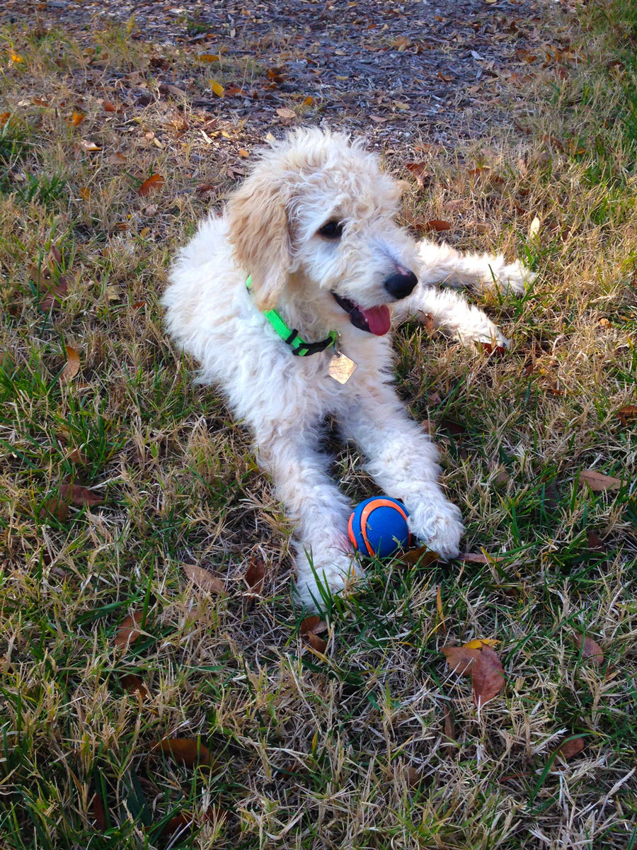picture of golden doodle puppy on the grass