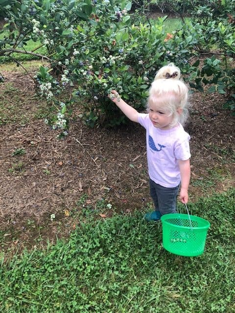 toddler picking blueberries in blueberry field