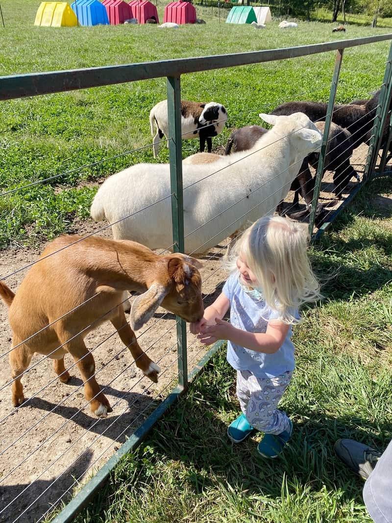 toddler petting lamb at petting zoo