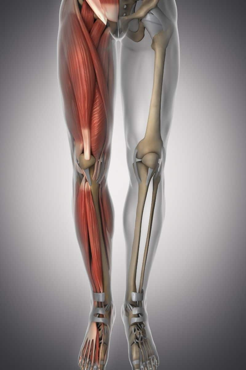 showing legs with muscle, bones and tendons